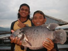 ternak ikan gurame