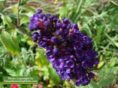 Purple Butterfly Bush attracks hummingbirds