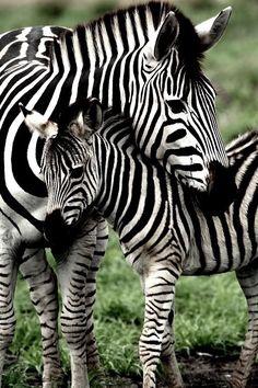 Mamá y cría zebra