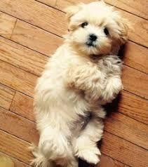 Bildresultat For Cute Teacup Maltese Puppies Brown Cute Animals