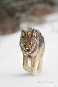 The wildlife and landscape stock photography and images of Canadian nature photographer John E. Including John's grizzly bear, polar bear and wild wolf photography. Wolf Spirit, My Spirit Animal, Beautiful Wolves, Animals Beautiful, Wolf World, Wolf Husky, Hachiko, African Wild Dog, Wolf Stuff