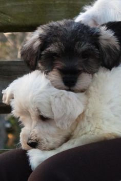 This is just more than adorable two absolutely darling mini Schnauzer puppies