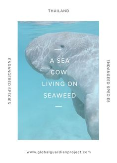 The sea cow is a Thailand native that loves seaweed! Learn more about this amazing creature in our Explore Thailand capsule!