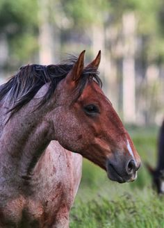 red roan horse, love the arched nose! A good honest sort. Most Beautiful Animals, Majestic Animals, Beautiful Horses, Beautiful Creatures, Horses And Dogs, Wild Horses, Campolina, All About Horses, All The Pretty Horses