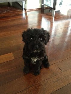 my schnoodle puppy