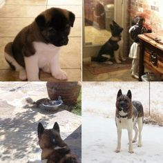 So you want to become an Akita puppy parent? Tips you need to know first!! Spitz Dog Breeds, Japanese Spitz Dog, Start Of Winter, Akita Puppies, Big Brown Eyes, Head Shapes, Dog Owners, French Bulldog, Need To Know