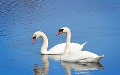 Пара белых лебедей на озере. (Россия, Bryanskaya oblast')