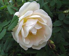 Juhannusruusu - Burnet Rose