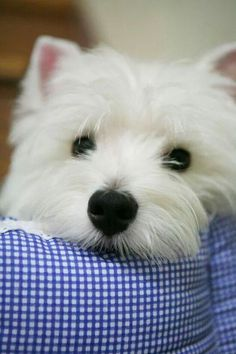 1 of the reasons I love the westies--that black nose and beady black eyes!  So cute!
