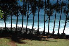 Vacoas trees lined up at the coast of Manapany, Reunion Island