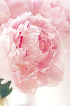 Peony ~ my favorite flowers. Unfortunately, it isn't really cold enough here to get them to bloom well. Peony Flower, My Flower, Cactus Flower, Pink Flowers, Beautiful Flowers, Pink Roses, Tea Roses, Exotic Flowers, Yellow Roses