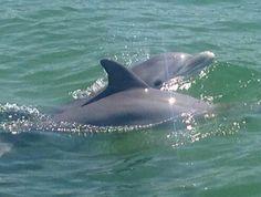 Dolphins in Orange Beach Alabama
