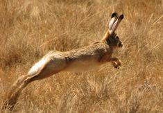 Abyssinian Hare (Lepus habessinicus)