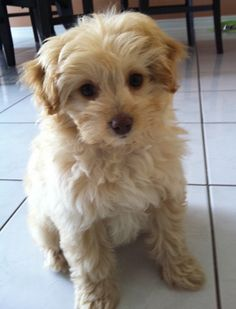 i want a pom-poo...but with more of a Pom face. MaltiPoo...PomaPoo....oh, the choices!