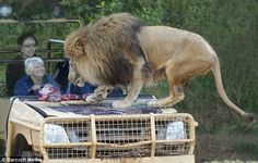 """Lions on the Edge exhibit uses an """"invisible cage"""" and it's awesome, allowing guests to get ultra-close to the lions without ever being at risk of being this morning's brunch."""