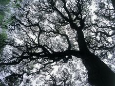 Oak tree limbs against the sky, Tx by Don Grall
