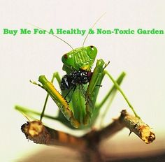 Shop your local nursery for praying mantis