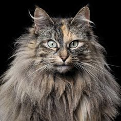 """ Rob Bahou The Norwegian Forest Cat is similar to the Maine Coon, and is a big, strong feline built to endure the harsh winter climate of Norway. These cats are skilled climbers and..."