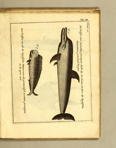 William: Dampier's Book   Illustration; : - Biodiversity Heritage Library