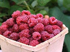 Great info on growing and maintaining raspberries.