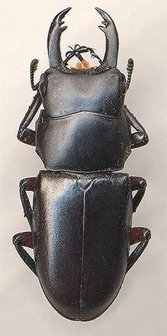 Macrodorcas rubrofemoratus, male