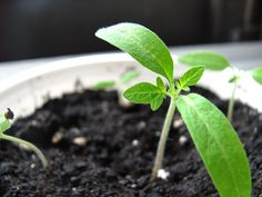 These 20 seed starting tips will help to make sure that your garden seeds get off to the best start since growing plants from seeds can sometimes be tricky. Organic Gardening, Gardening Tips, Vegetable Gardening, Garden Soil, Flower Gardening, Edible Garden, Garden Plants, Container Gardening, Growing Tomatoes From Seed