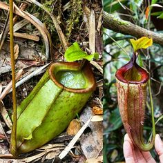 Let's play a guessing game! Which species do you think this is? One hint: it's from the Philippines!  #nepenthes #carnivorousplants #pitcherplants #tropicalplants #rainforest #jungle #naturephotography #nature #travel #adventure #exploring #trekking #hiking #backpacking #botany #wanderlust #flora #palawan #philippines #mountains #plantlife #gunung #guess #habitat #camping #nationalgeographic #expedition by laurenttaerweplantphotos