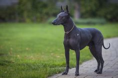 Mexican Hairless Dog photo Mexican Hairless Dog, Expensive Dogs, Pharaoh Hound, Pretty Animals, Unusual Animals, Anubis, Animal House, Dog Photos, Mammals