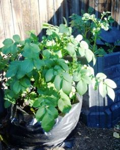 Potatoes are one of the easiest vegetables to grow. Even if you don't have a large garden, you can grow potatoes in a 30-gallon trash bag.
