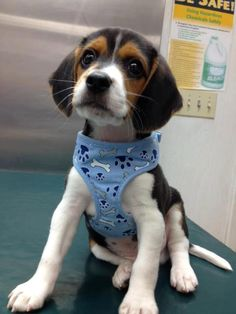 beagle pup - sweet face