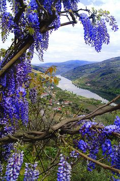 Wisteria growing along the Douro River.