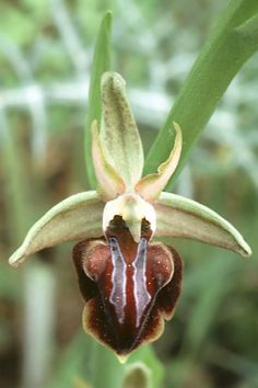 Ophrys sphegodes subsp.mammosa