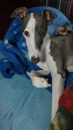 Ace, a handsome Italian Greyhound.
