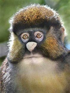 Spot nosed monkey.