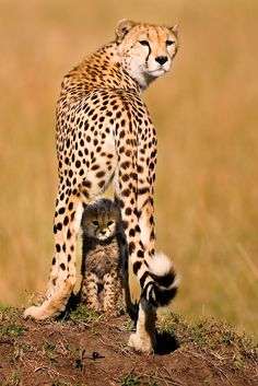 """Mommy and Me""  Cheetah with her cub in the Massai Mara, Kenya"