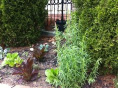 More herbs grown onsite at Candicci's Restaurant & Bar.  Come and enjoy their beautiful naturally grown herbs.