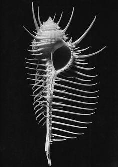 Murex tenuispina Lam  photo by Alfred Ehrhardt, 1941