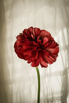 Red Ranunculus Flower Color Study Photograph by TheMemorableImage