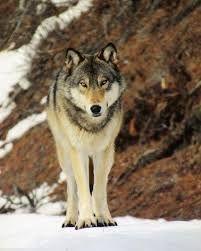 walking wolf - Αναζήτηση Google