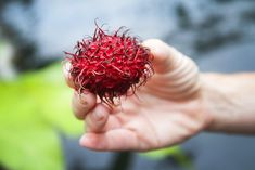 Mamon Chino - Costa Rican Rambutan Fruit - How to eat the red spiky tropical fruit from Costa Rica known as Mamonchino, mamoncillo or Rambutan.