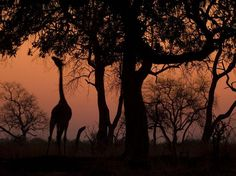 silhouette girafe Wallpaper