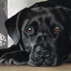 Harley,  recent commission.  #dogportrait #dogstagram #dog #artofdrawingg #art_realistic #instadog #pastels #labrador #lovedogs #loveart #labradorretriever