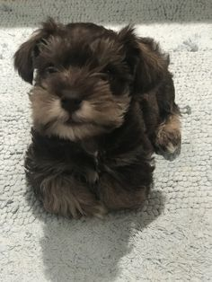 Ranked as one of the most popular dog breeds in the world, the Miniature Schnauzer is a cute little square faced furry coat. Silly Dogs, Cute Dogs And Puppies, I Love Dogs, Doggies, Miniature Schnauzer Puppies, Schnauzer Puppy, Teacup Schnauzer, Teacup Chihuahua, Baby Animals