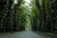 24 Must-Stop Sights Along Kauai's Holo Holo Koloa Scenic Byway l Maluhia Tree Tunnel