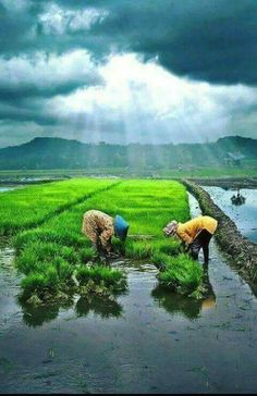These workers plant rice plants in fields filled with water nd mud upto their knees.there r so many chances of finding snakes in these fields but still lyf hikes they take to end. Amazing India, Amazing Nature, Village Photography, Nature Photography, Terra A Vista, Farmer Painting, India Pic, Village Photos, Indian Village
