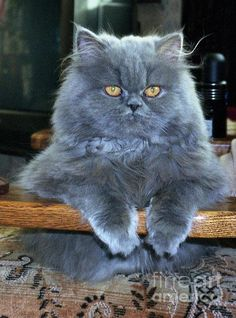 Persian Cat Gallery - Cat's Nine Lives Pretty Cats, Beautiful Cats, Animals Beautiful, Crazy Cats, I Love Cats, Cute Cats, Animals And Pets, Baby Animals, Cute Animals