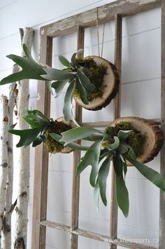 How To Mount A Stag Horn Fern: great tutorial to take a potted stag horn fern and mount it onto wood so it can hang. Fern Care Indoor, Centerpiece Wedding, Wedding Decor, Hanging Ferns, Hanging Baskets, Staghorn Fern Mount, Succulents In Containers, Container Flowers, Driftwood Art
