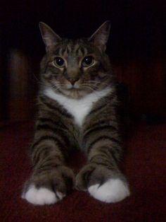polydactyl cat, (Hemingway Cat)