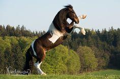 Barockpinto - Pferdefotografie, Hundefotografie, Fotografie Bettina Niedermayr Pferde - Mensch & Pferd - Hunde- Portrait - Stallschilder - Kalender, Pferdekalender, Haflingerkalender mit Kohlfuchs Liz. Steiermark