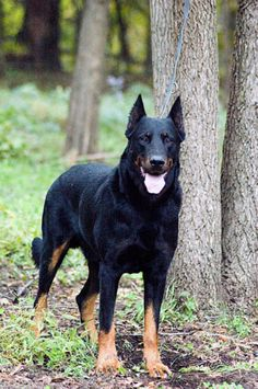 Beauceron standing tall in the woods.